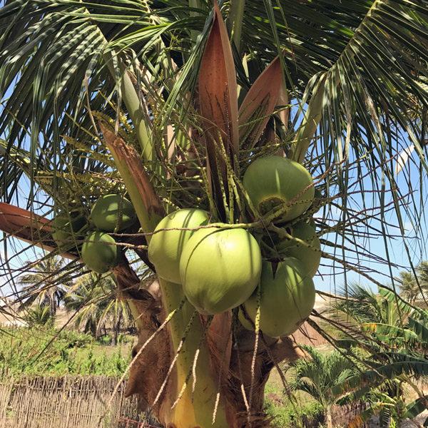 Aus dem eigenen Garten: Was die Kokosnuss alles kann